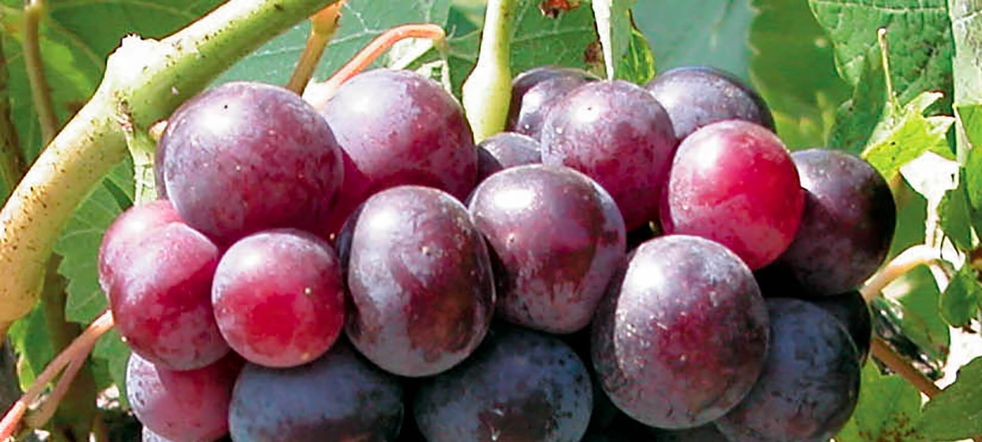 Red Muscat